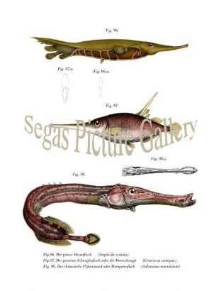 Big knife fish, Snipe fish or Sea snipe, Chinese flute mouth or Trompetenfisch